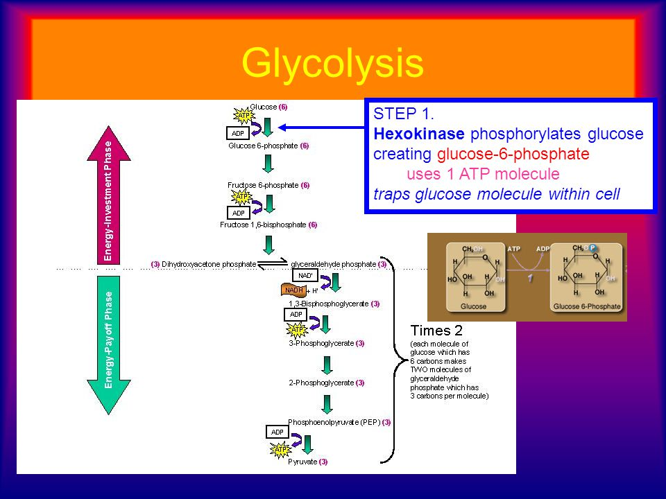 Glycolysis STEP 1. Hexokinase phosphorylates glucose creating glucose-6-phosphate. uses 1 ATP molecule.