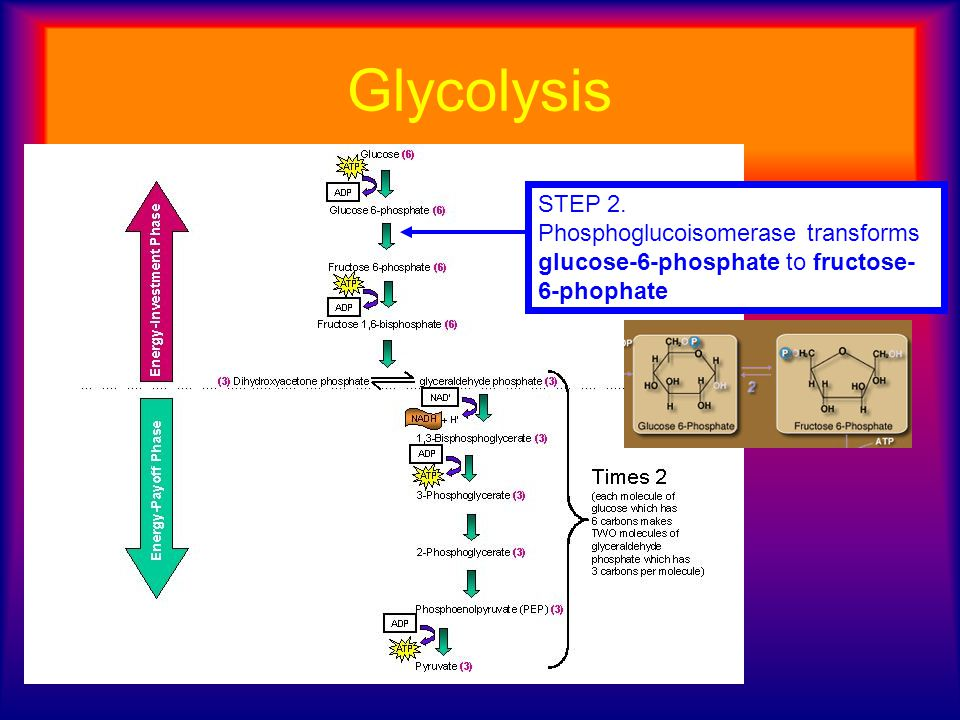 Glycolysis STEP 2. Phosphoglucoisomerase transforms glucose-6-phosphate to fructose-6-phophate