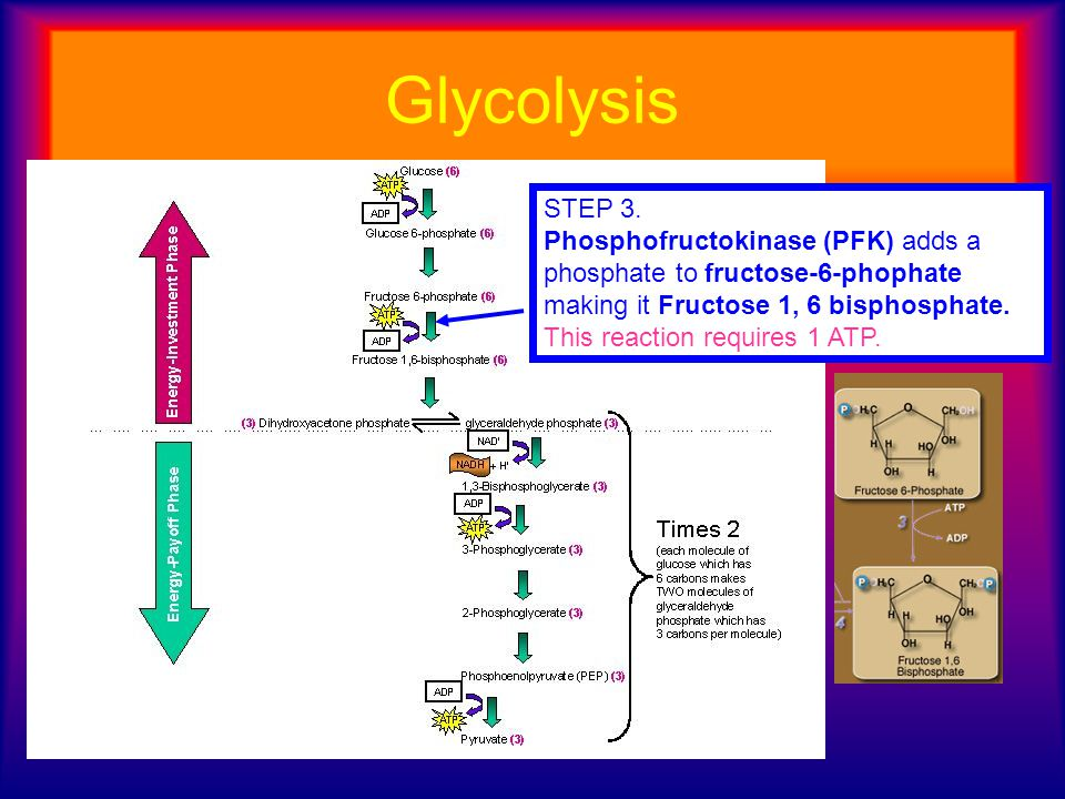 Glycolysis STEP 3. Phosphofructokinase (PFK) adds a phosphate to fructose-6-phophate making it Fructose 1, 6 bisphosphate.