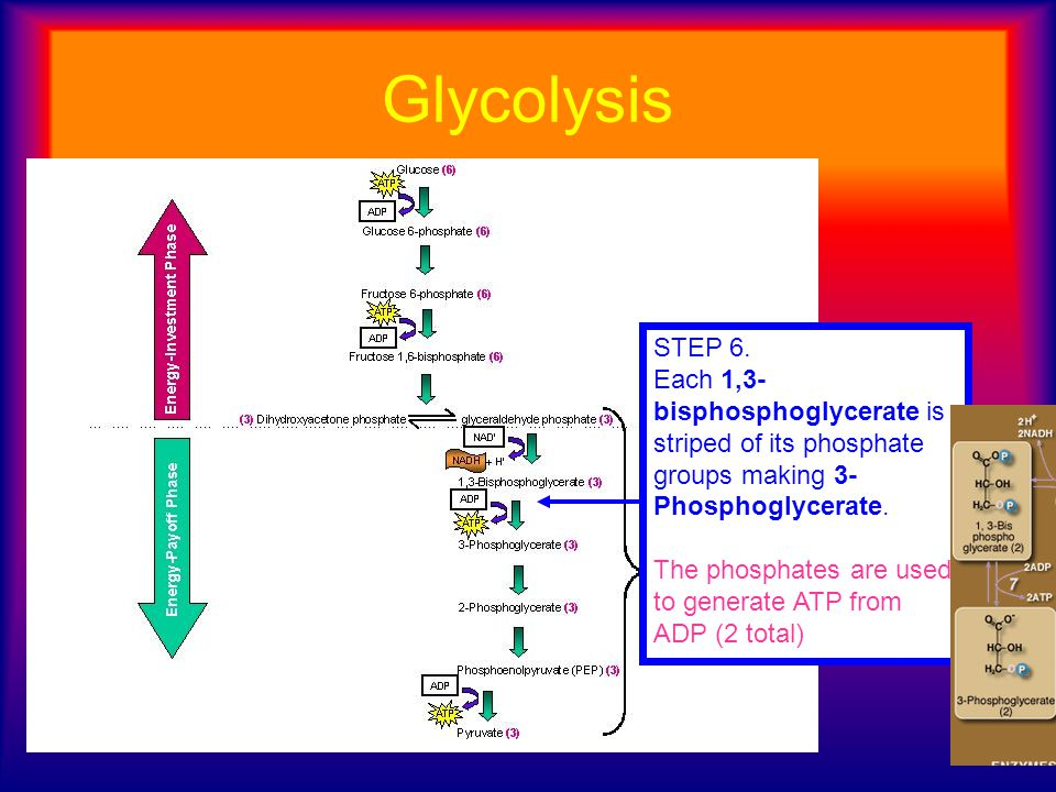 Glycolysis STEP 6. Each 1,3-bisphosphoglycerate is striped of its phosphate groups making 3-Phosphoglycerate.