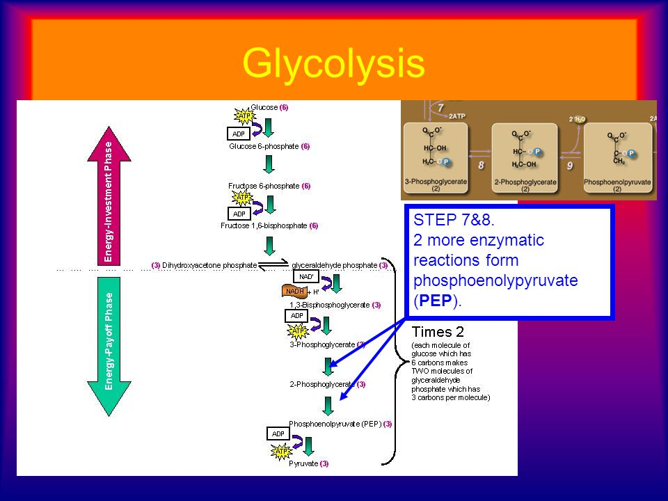 Glycolysis STEP 7&8. 2 more enzymatic reactions form phosphoenolypyruvate (PEP).