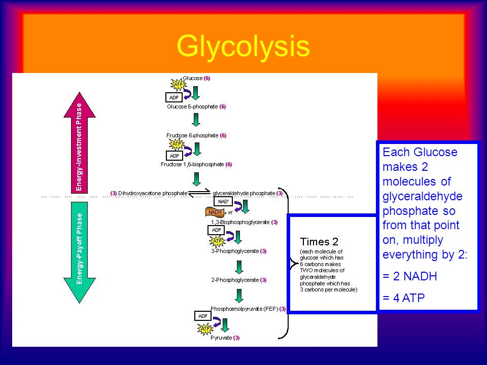 Glycolysis Each Glucose makes 2 molecules of glyceraldehyde phosphate so from that point on, multiply everything by 2: