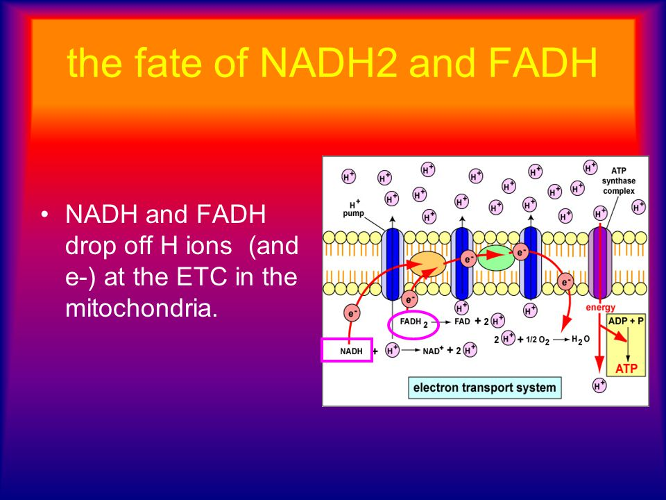 the fate of NADH2 and FADH