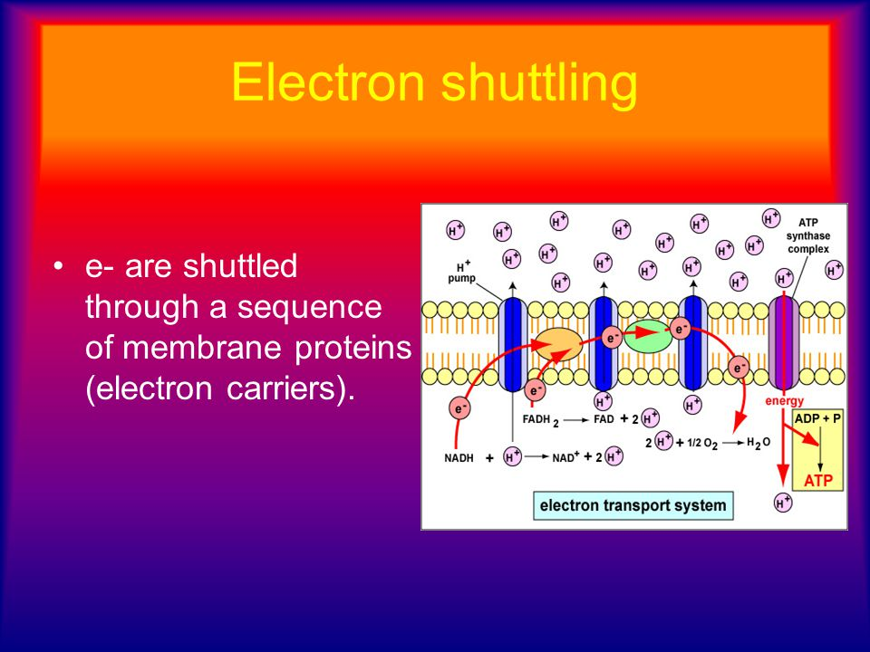 Electron shuttling e- are shuttled through a sequence of membrane proteins (electron carriers).