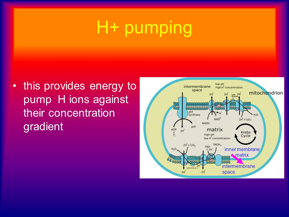 H+ pumping this provides energy to pump H ions against their concentration gradient. inner membrane matrix.