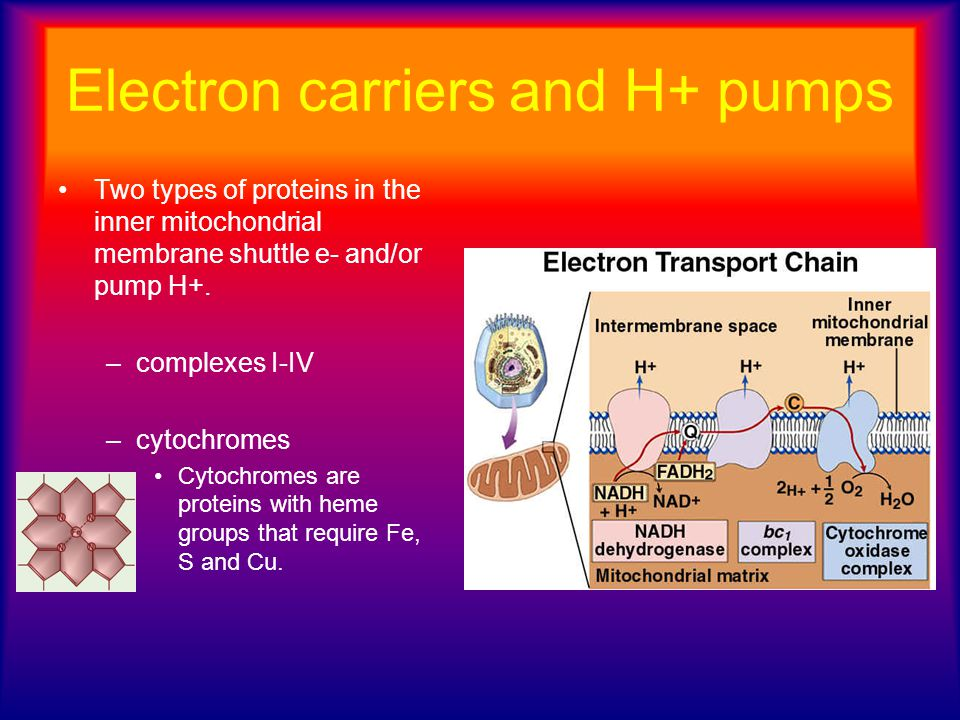 Electron carriers and H+ pumps