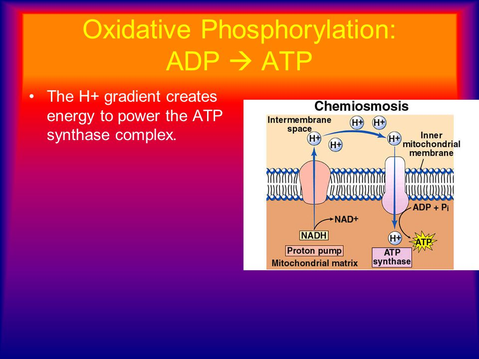Oxidative Phosphorylation: ADP  ATP