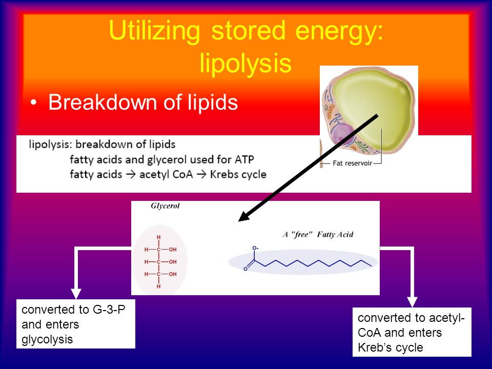 Utilizing stored energy: lipolysis