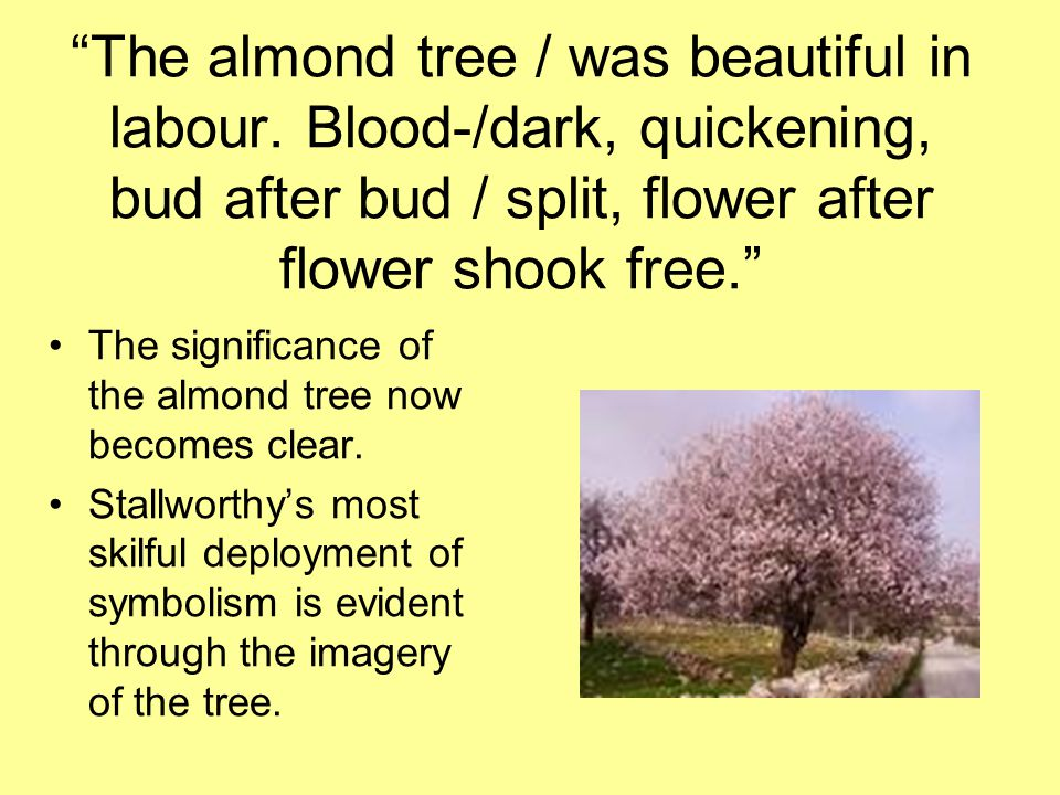 The almond tree / was beautiful in labour