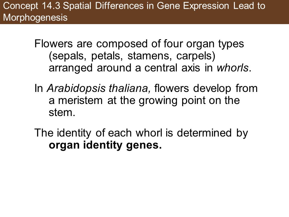 The identity of each whorl is determined by organ identity genes.