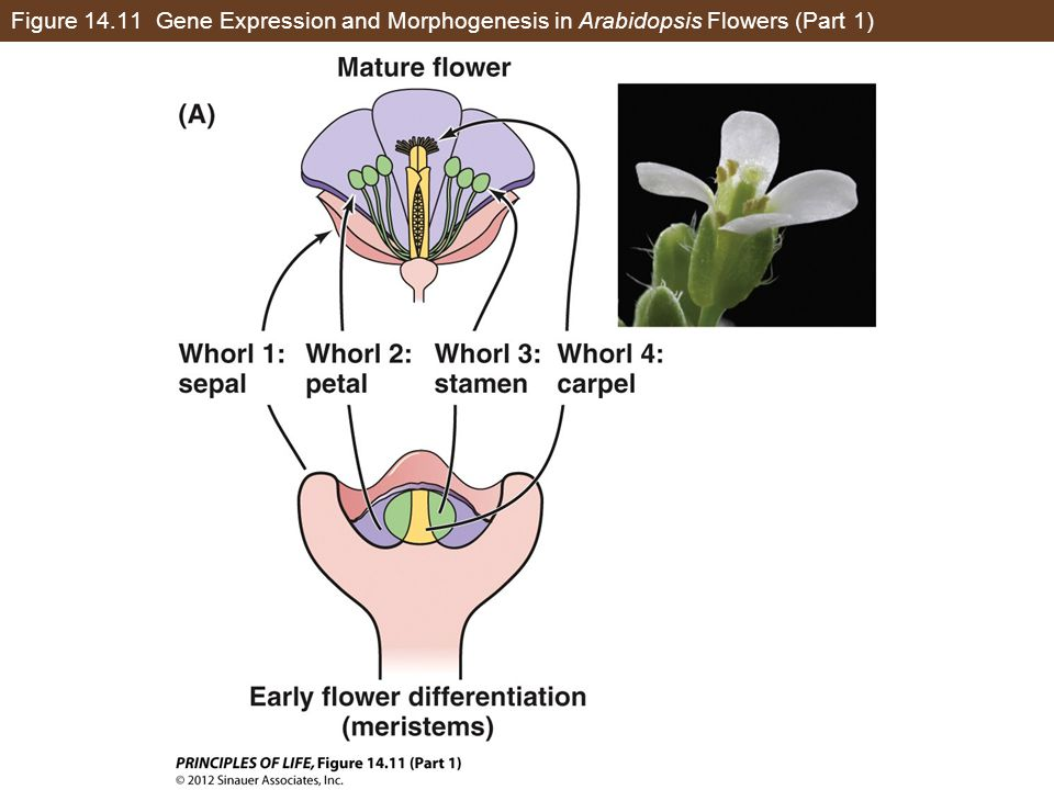 Figure 14.11 Gene Expression and Morphogenesis in Arabidopsis Flowers (Part 1)