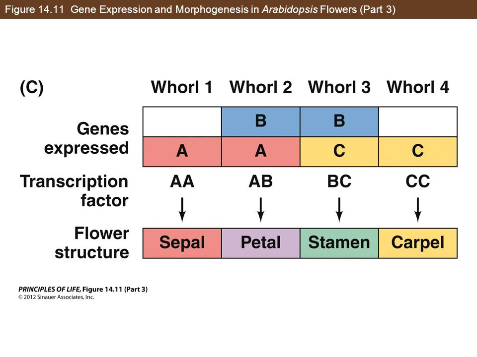Figure 14.11 Gene Expression and Morphogenesis in Arabidopsis Flowers (Part 3)