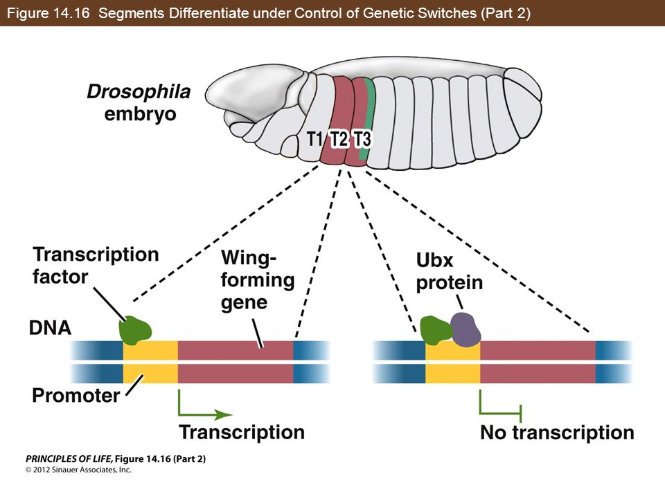 Figure 14.16 Segments Differentiate under Control of Genetic Switches (Part 2)