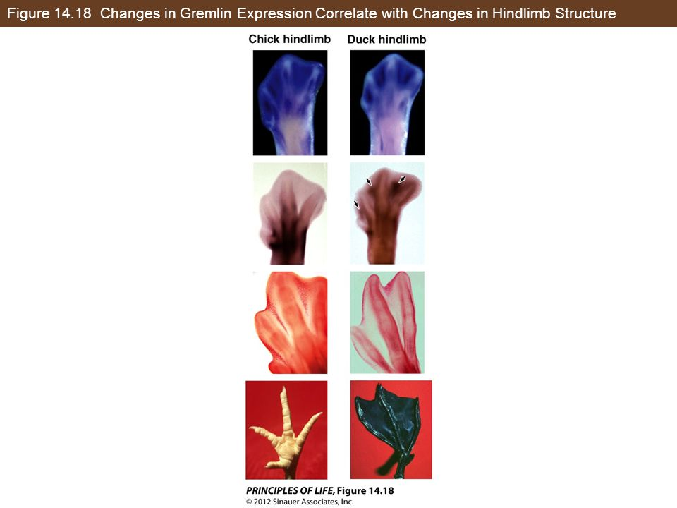 Figure 14.18 Changes in Gremlin Expression Correlate with Changes in Hindlimb Structure