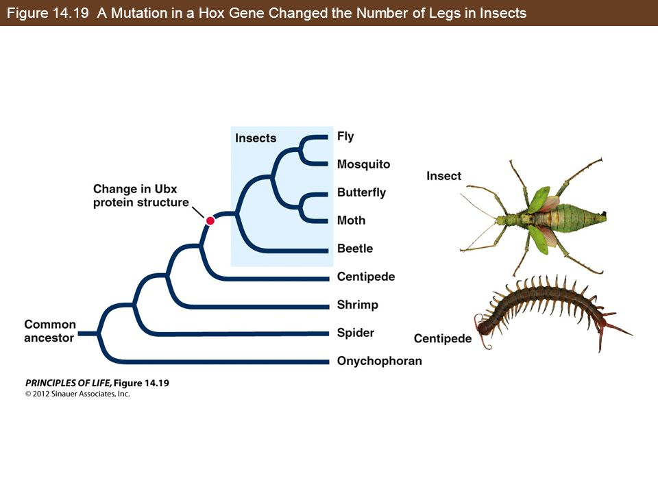 Figure 14.19 A Mutation in a Hox Gene Changed the Number of Legs in Insects