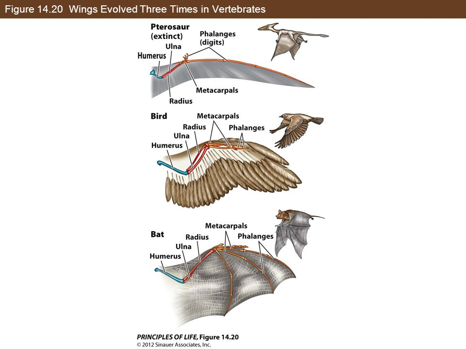 Figure 14.20 Wings Evolved Three Times in Vertebrates