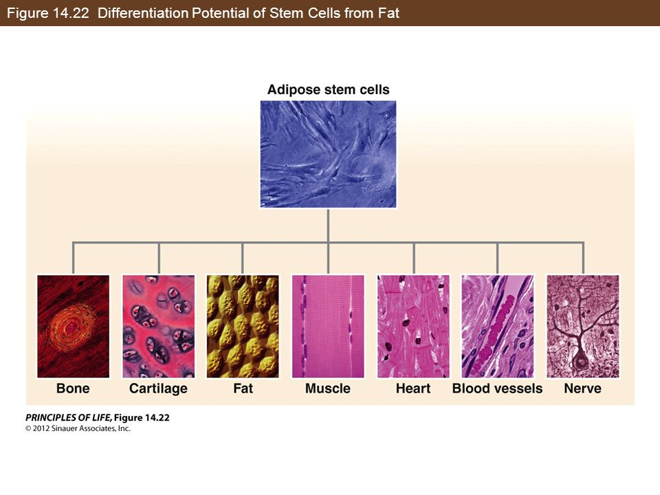 Figure 14.22 Differentiation Potential of Stem Cells from Fat