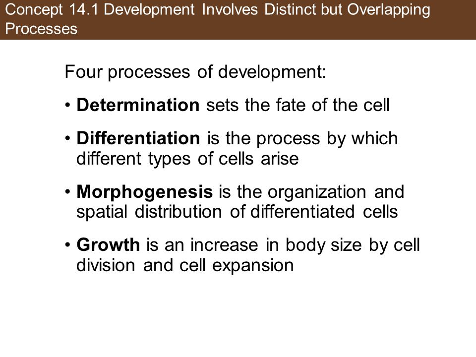 Concept 14.1 Development Involves Distinct but Overlapping Processes