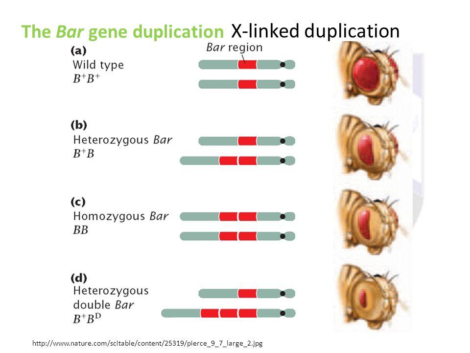 X-linked duplication The Bar gene duplication