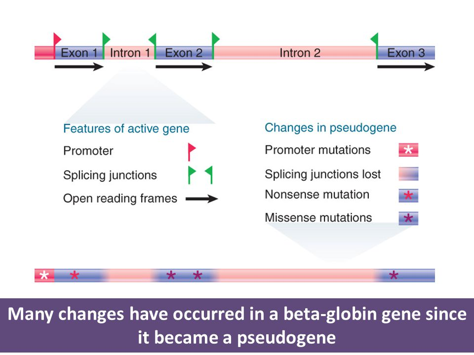 Many changes have occurred in a beta-globin gene since it became a pseudogene