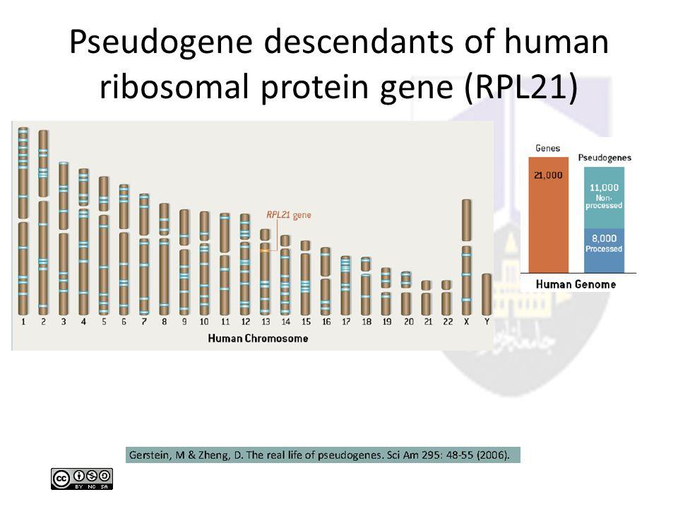 Pseudogene descendants of human ribosomal protein gene (RPL21)