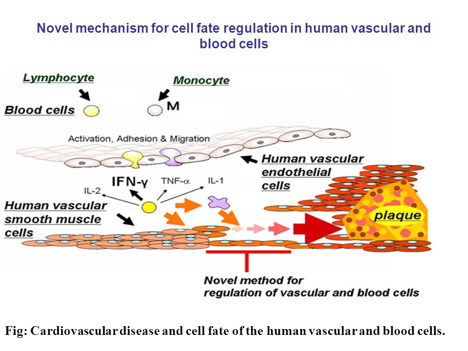 Novel mechanism for cell fate regulation in human vascular and blood cells