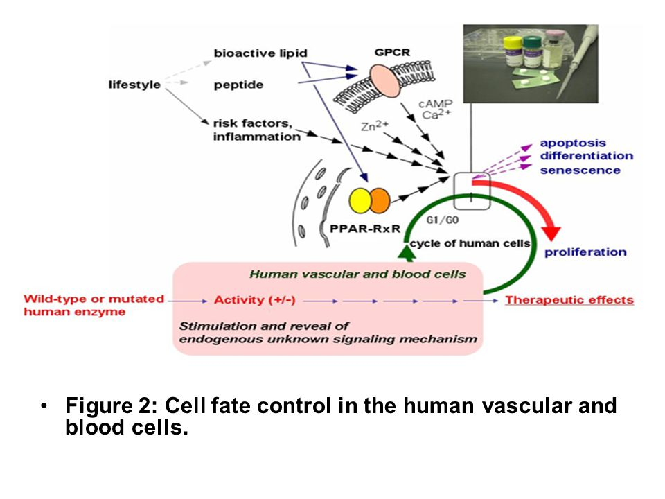 Figure 2: Cell fate control in the human vascular and blood cells.