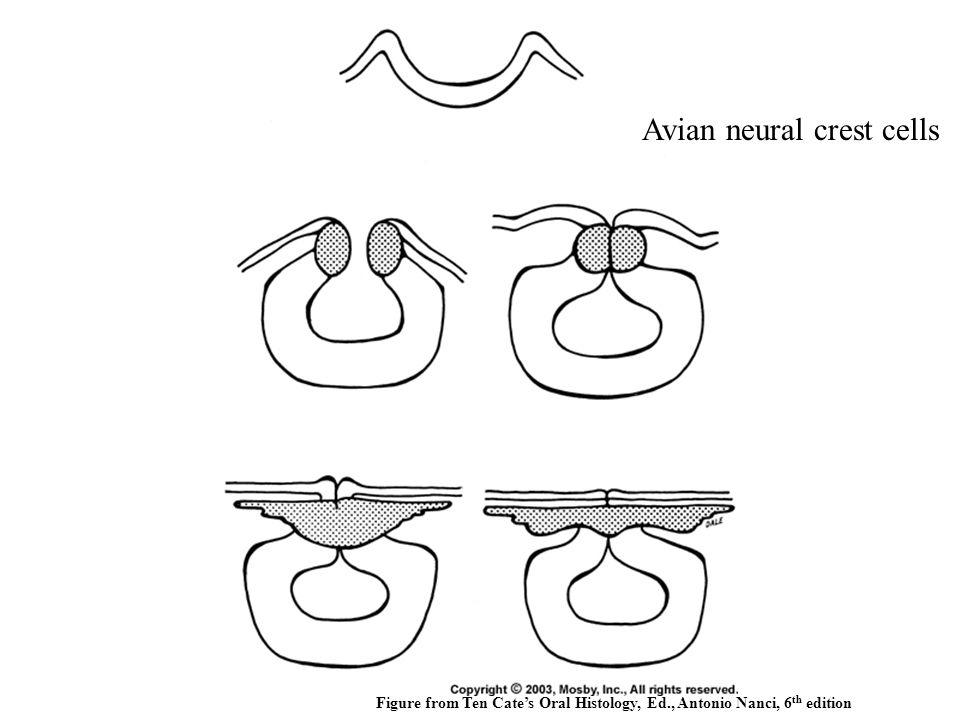 Avian neural crest cells