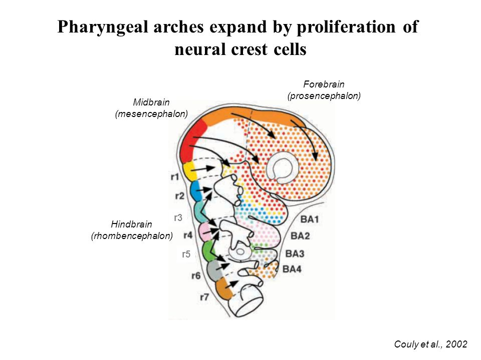 Pharyngeal arches expand by proliferation of
