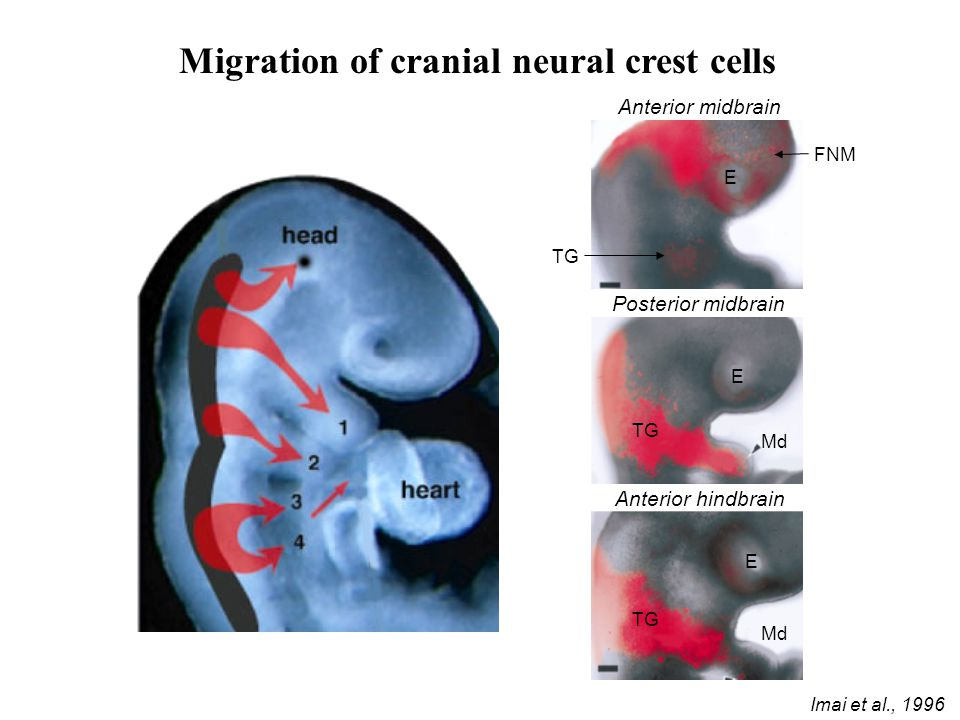 Migration of cranial neural crest cells