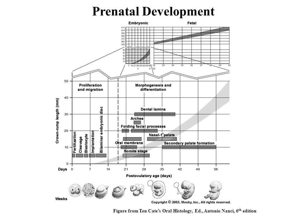 Prenatal Development Figure from Ten Cate's Oral Histology, Ed., Antonio Nanci, 6th edition