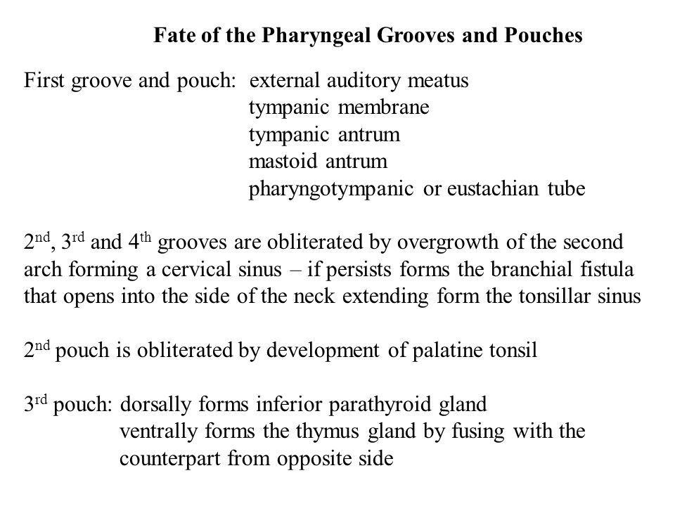 Fate of the Pharyngeal Grooves and Pouches