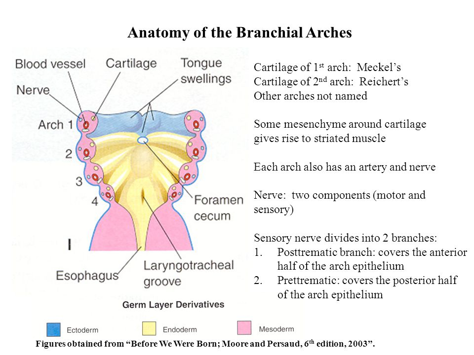 Anatomy of the Branchial Arches