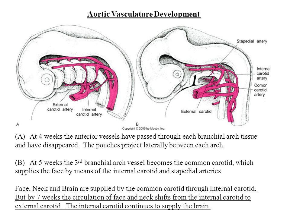 Aortic Vasculature Development