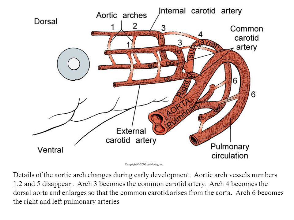 Details of the aortic arch changes during early development