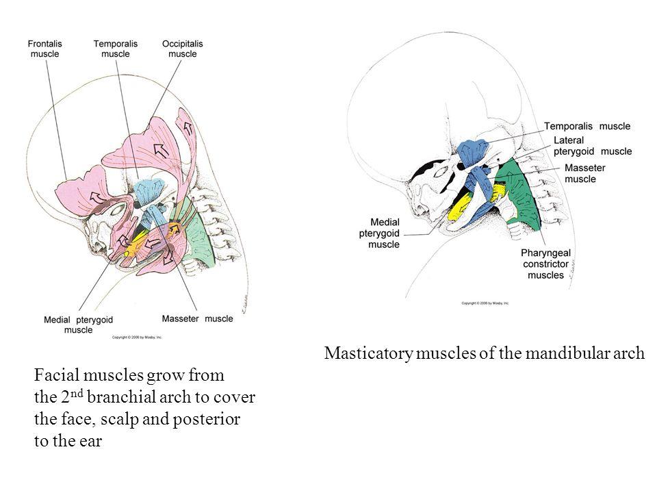 Masticatory muscles of the mandibular arch