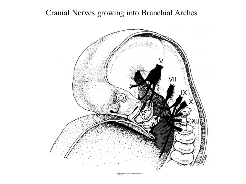 Cranial Nerves growing into Branchial Arches
