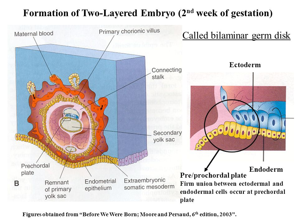 Formation of Two-Layered Embryo (2nd week of gestation)