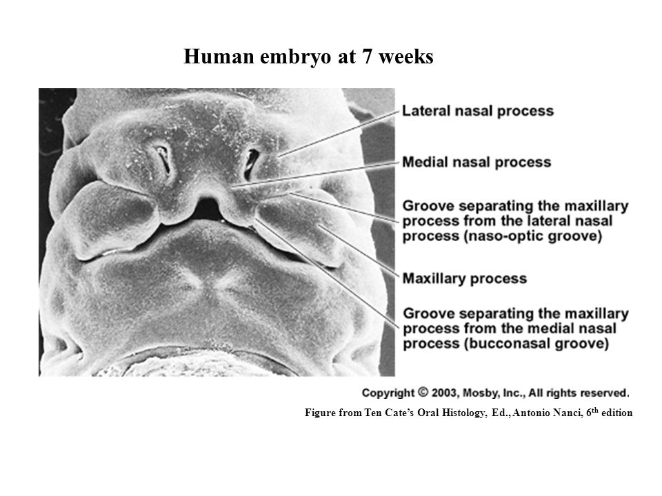 Human embryo at 7 weeks Figure from Ten Cate's Oral Histology, Ed., Antonio Nanci, 6th edition