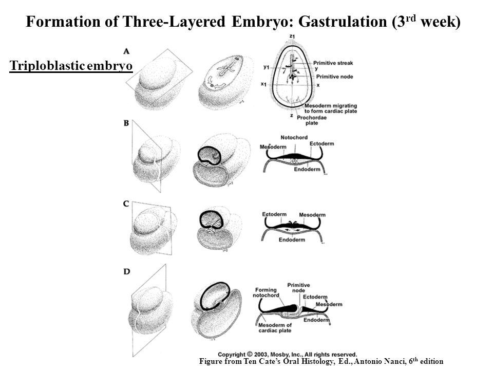 Formation of Three-Layered Embryo: Gastrulation (3rd week)