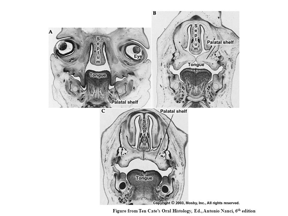 Figure from Ten Cate's Oral Histology, Ed., Antonio Nanci, 6th edition
