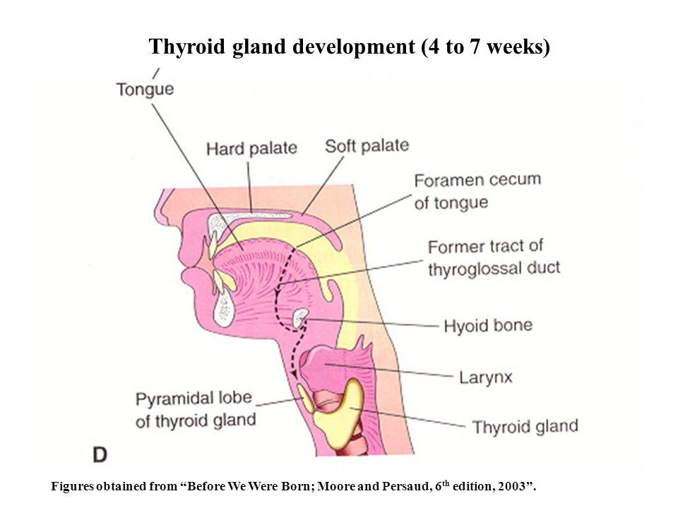 Thyroid gland development (4 to 7 weeks)