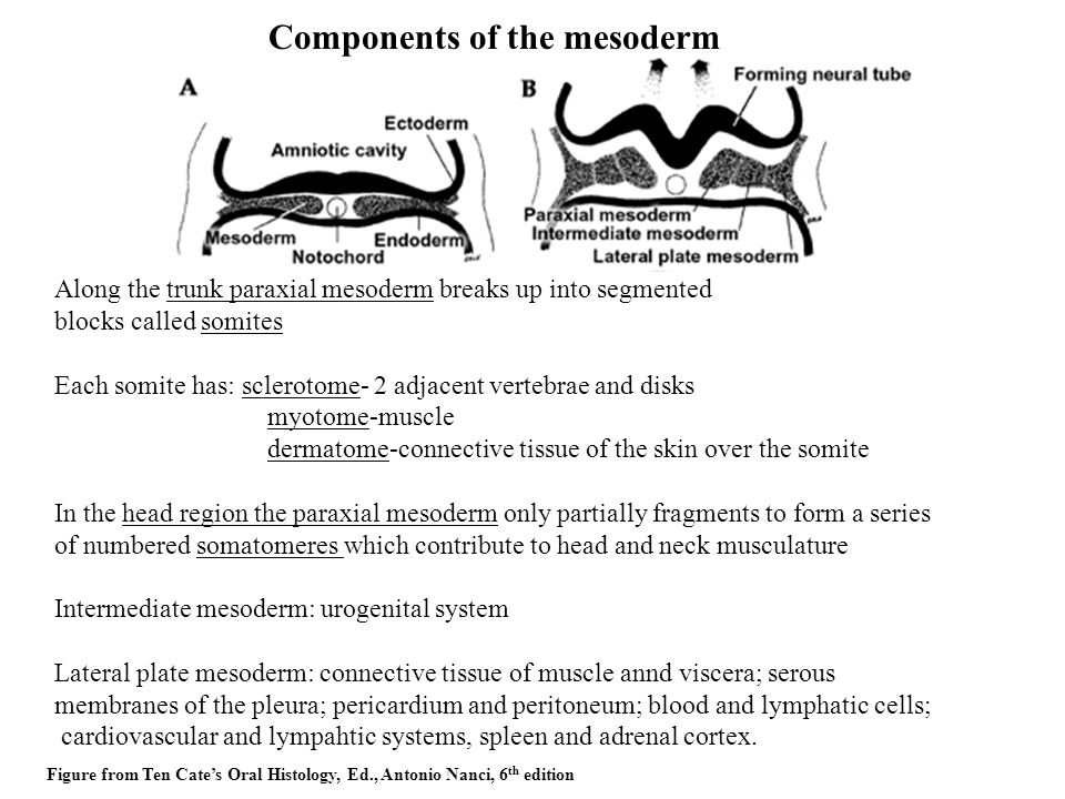 Components of the mesoderm