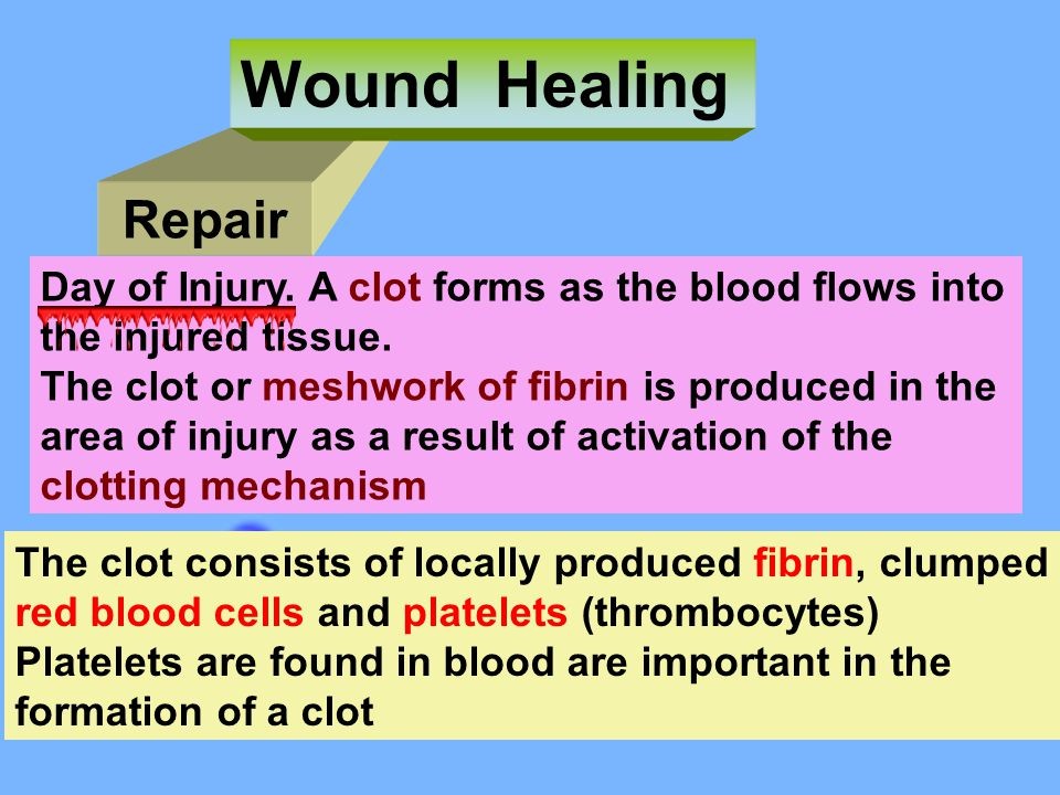 Wound Healing Repair. Day of Injury. A clot forms as the blood flows into. the injured tissue. The clot or meshwork of fibrin is produced in the.