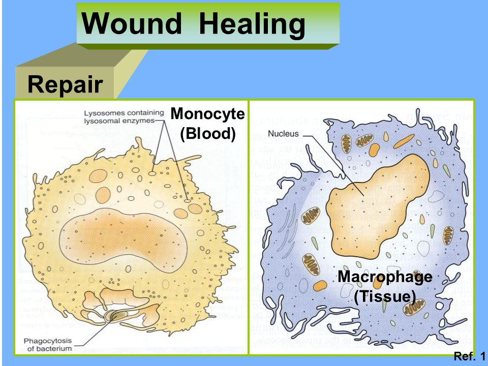 Wound Healing Repair Monocyte (Blood) Macrophage (Tissue) Ref. 1