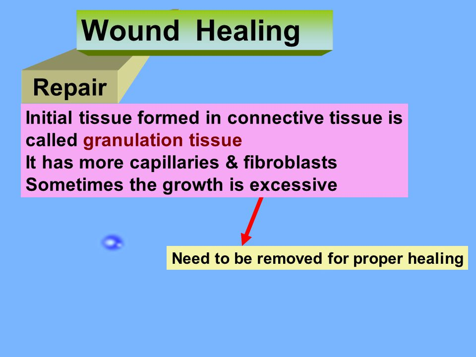 Wound Healing Repair Initial tissue formed in connective tissue is