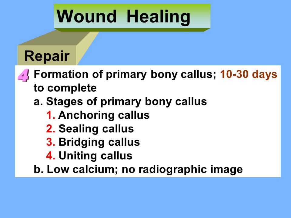 Wound Healing Repair Formation of primary bony callus; 10-30 days