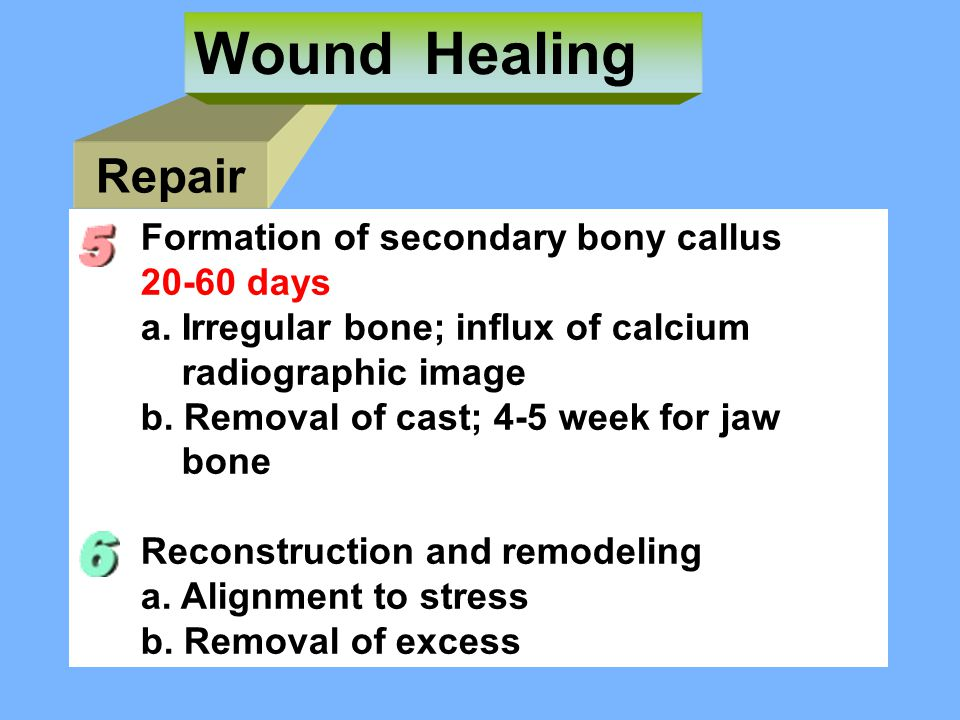 Wound Healing Repair Formation of secondary bony callus 20-60 days