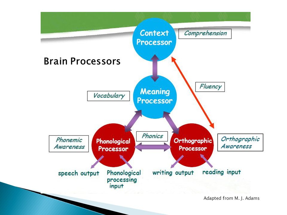 Brain Processors Orthographic Awareness Adapted from M. J. Adams
