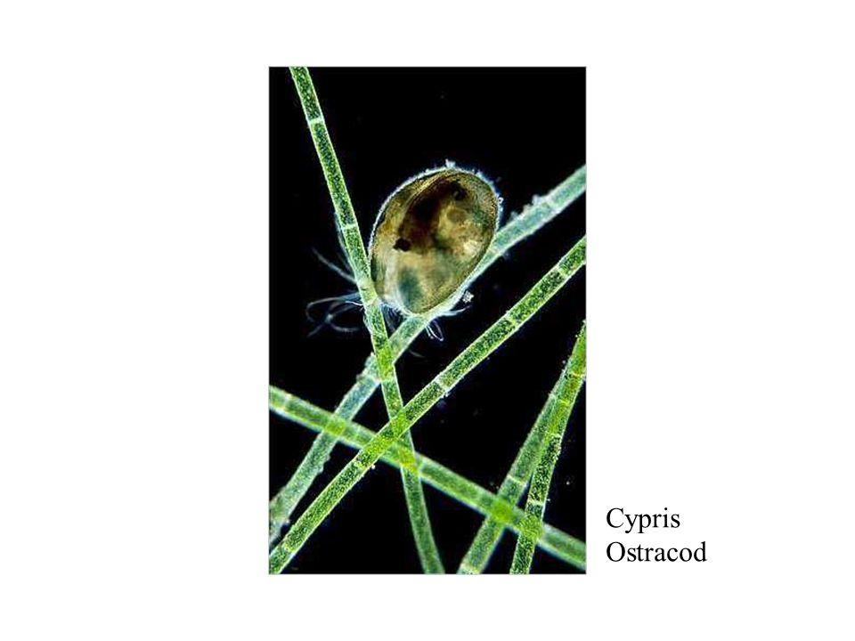 Ostracod Cypris Ostracod